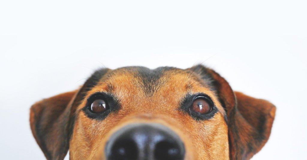 Brown dog peeking over a counter